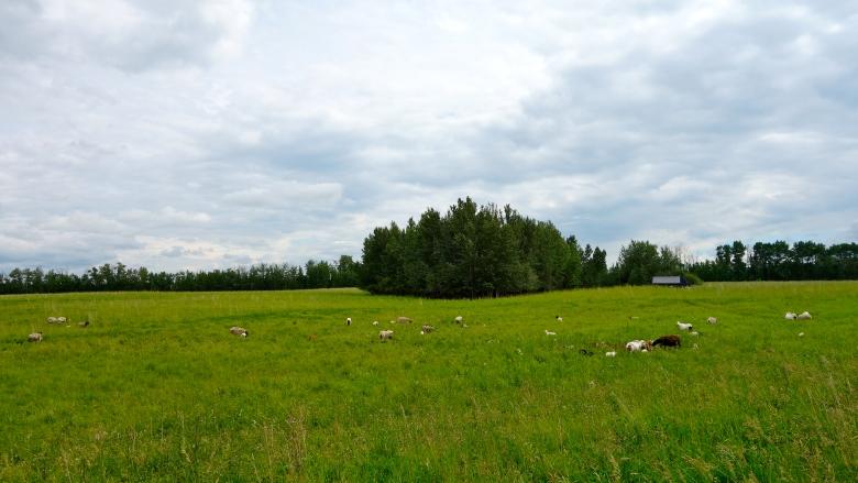 Lambs at Tangle Ridge